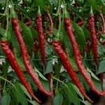 PEPER 'Joe's Long Cayenne', 15 zaden